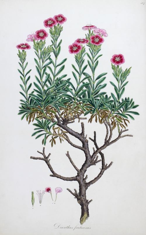 Dianthus fruticosus from John Sibthorpe and Ferdinand Bauer's Flora Graeca. London: Taylor, 1806-37.