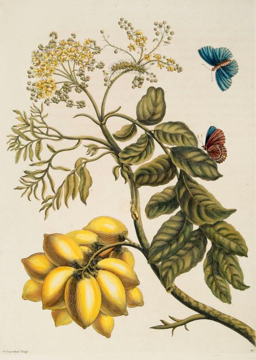 Prunus Americana from Dissertatio de generatione et metamorphosibus insectorum Surinamensium. Hagae Comitum: Petrum Gosse, 1726.