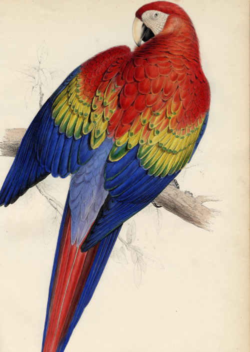 Plate 7 from Edward Lear's Illustrations of the family of Psittacidœ, or parrots. Macrocercus aracanga (red and yellow Maccaw). London: E. Lear, 1832.